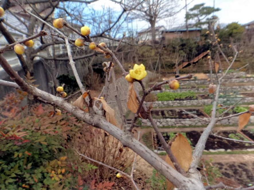 園内のロウバイが咲きました♪